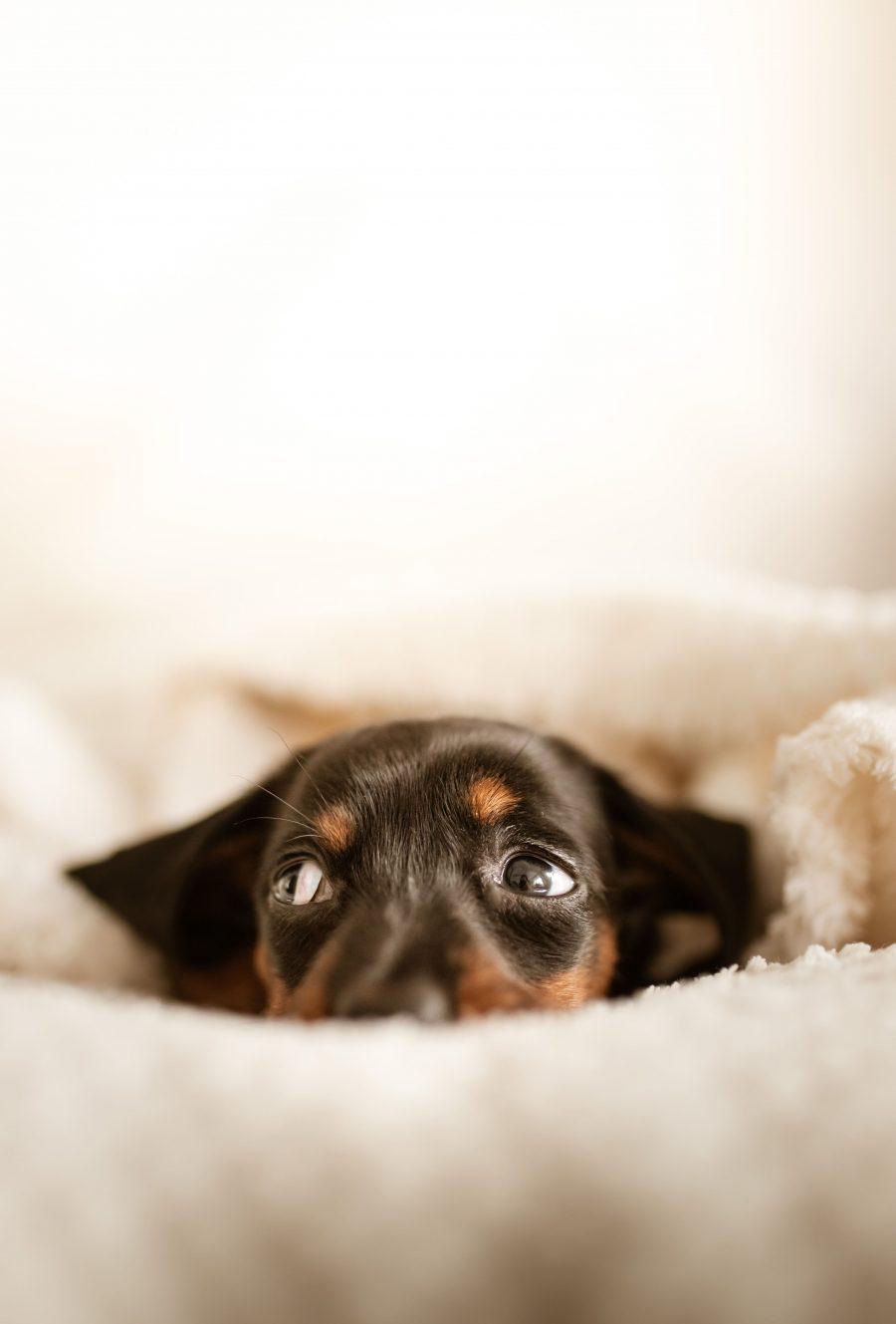 Dit komt er allemaal kijken bij de aanschaf van een puppy